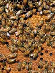 <!--:es-->Enjambre atacó a 70 policías …Graves 3 oficiales por abejas africanas<!--:-->