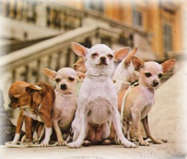 <!--:es-->2009 PETCO Carreras de Chihuahuas en DALLAS<!--:-->