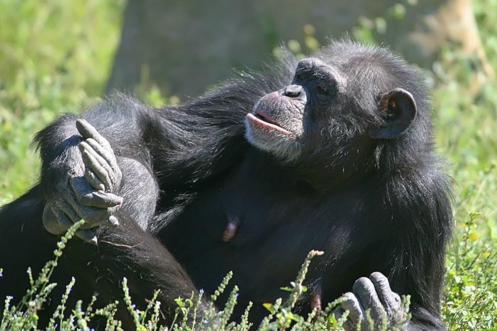 La cama de los humanos es mucho más sucia que la de un chimpancé