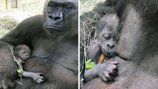 Histórico: nace primer gorila en el zoológico de Dallas