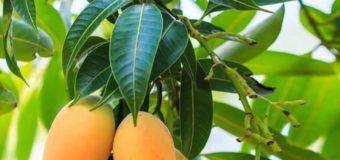 Las Hojas de Mango  Controlan La Diabetes Como Por Arte De Magia