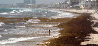 Qué es el sargazo?,  el alga color marrón  que está invadiendo  las turísticas playas  de Cancún