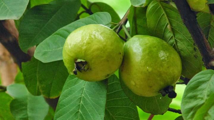 Usa la Guayaba y sus hojas para combatir la diabetes, sanar la colitis, el asma, la gota, el catarro y mucho más