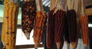 El maíz mexicano que  por sus propiedades  podría revolucionar  la agricultura a  nivel mundial