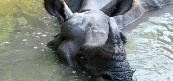 China legaliza el comercio de productos a base de tigre o rinoceronte